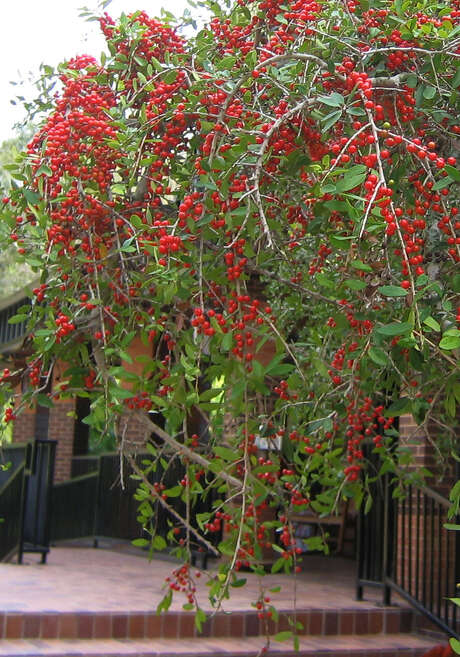 Evergreen weeping yaupon produces an abundance of red winter berries for birds. Learn more about how to attract birds to the garden at Kathy Adams Clark's Wednesday program. Photo: BRENDA BEUST SMITH / BRENDA BEUST SMITH