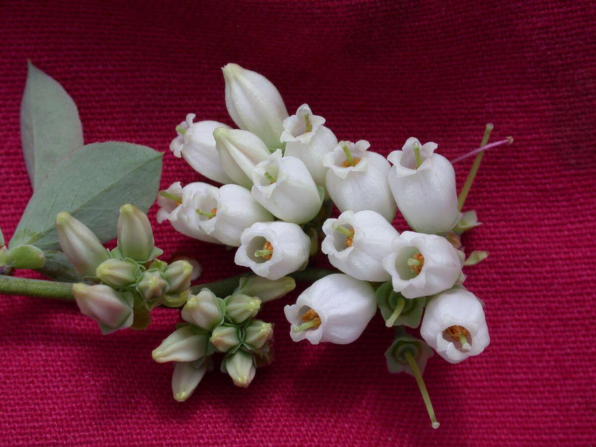 Galveston County Master Gardener Association photo Blueberry flowers
