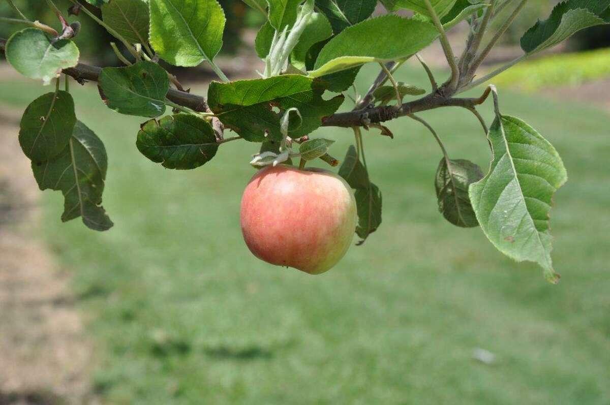 'Carnavale' apple. Heidi Sheesley, Treesearch Farms photo.