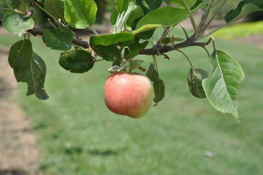 'Carnavale' apple. Heidi Sheesley, Treesearch Farms photo. Photo: Heidi Sheesley