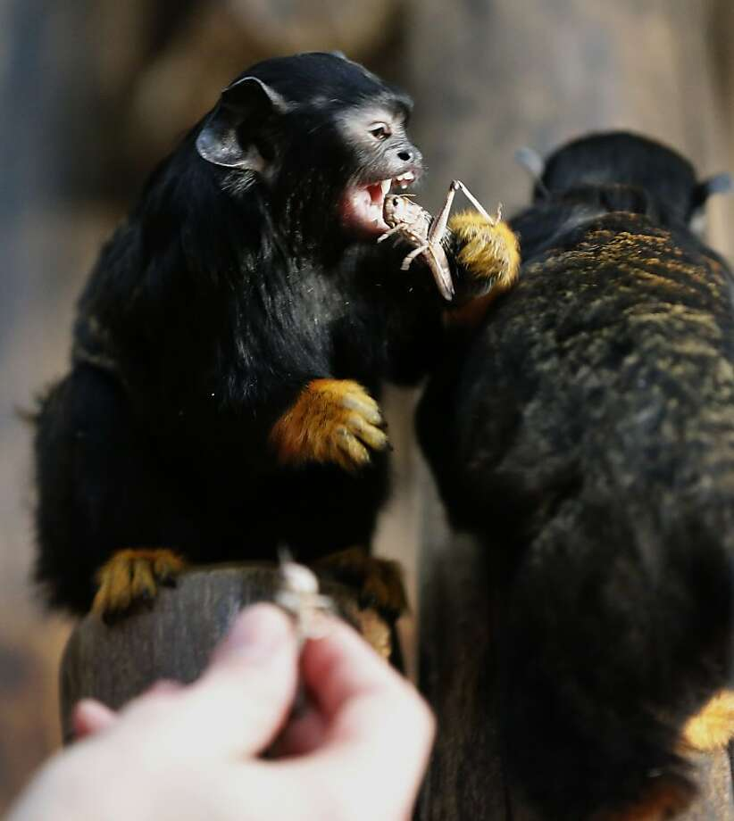 The head's the best part: The Duisburg Zoo in Germany finds a solution to its locust problem AND saves on tamarin food costs in one fell swoop. Photo: Frank Augstein, Associated Press