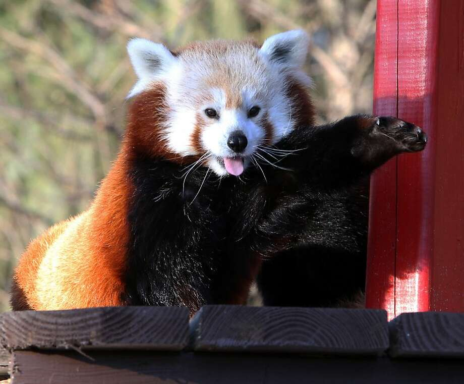 Y'all come back now, y'here?! Another greeter at the Potawatomi Zoo is Rusty, the new red panda. And she actually waves at visitors. Photo: Greg Swiercz, Associated Press