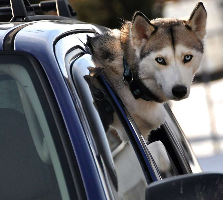 That doggy in the window:Nitchka the Siberian husky pokes her head out of a backseat window as she waits for her owners to return in Hazleton, Pa. Photo: Ellen F. O'Connell, Associated Press