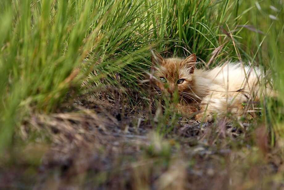 A feral cat lies in the grass at Quarry Lakes Regional Recreation Area in Fremont. Photo: Thomas Levinson, The Chronicle