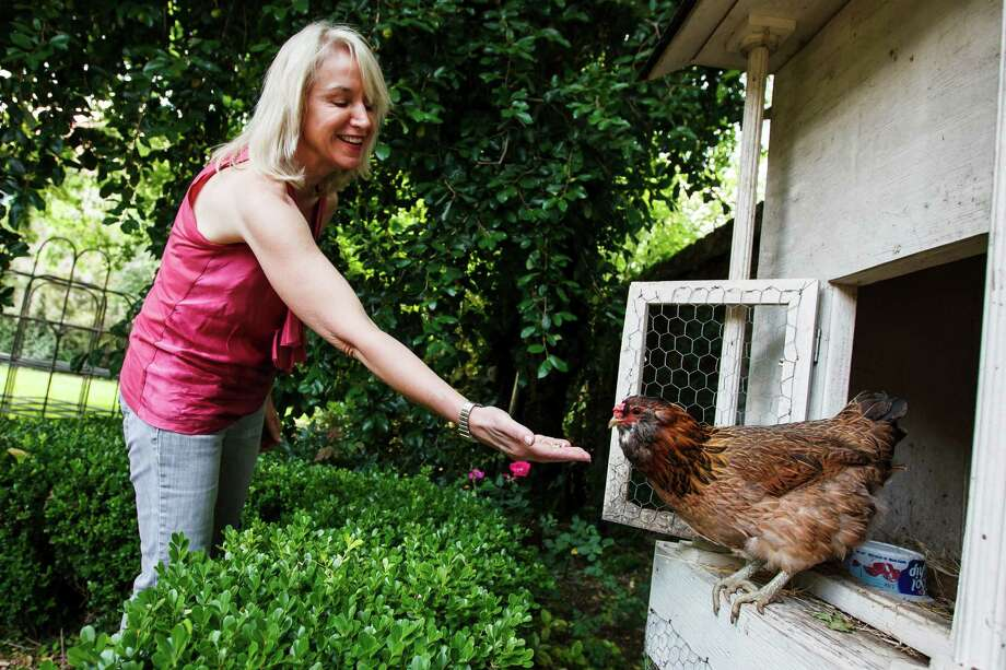Loren Raun feeds her chicken, Aunt Connie, as the hen stands in a coop in the family's backyard in Houston. Hens for Houston is asking City Council to change an ordinance to make it easier for Houstonians to raise chickens in their yards. Photo: Michael Paulsen, Staff / 2012 Houston Chronicle