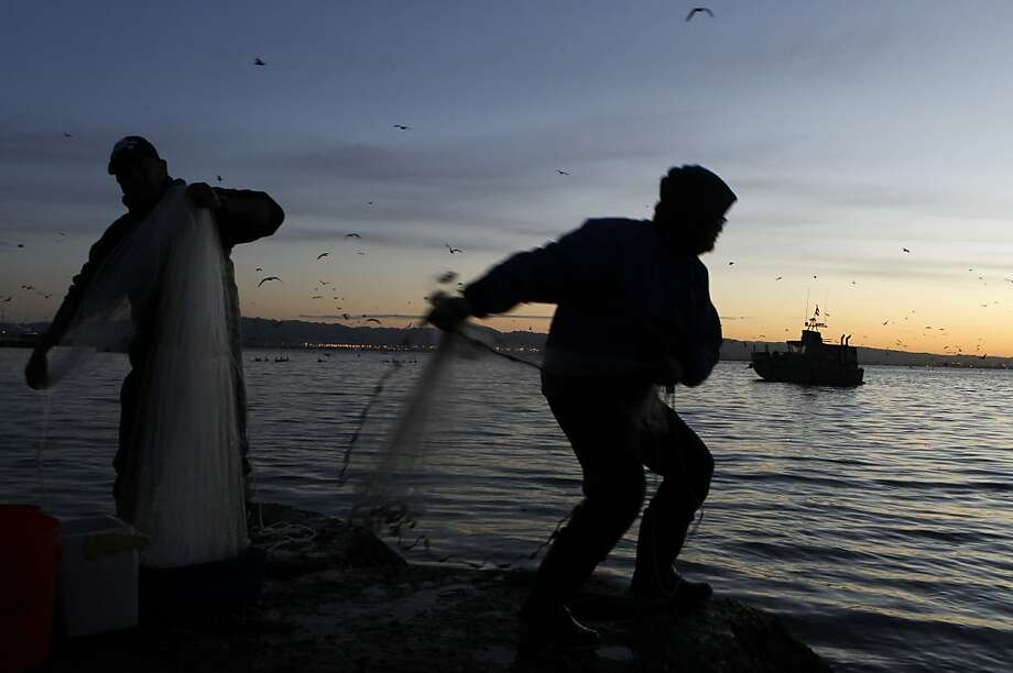 Rudy Domingo (left) and Francis Reyes (right) cast nets into the bay to catch herring off China Basin   before sunrise in San Francisco, Calif. on Friday, Jan. 11, 2013. At this time of year, herring come close to the shoreline to lay eggs, giving fishermen the chance to net the fish in large numbers. Photo: Paul Chinn, The Chronicle