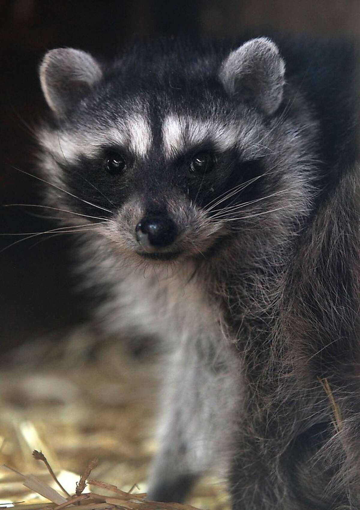 An orphaned raccoon is closely watched for symptoms of the new disease at WildCare in San Rafael.