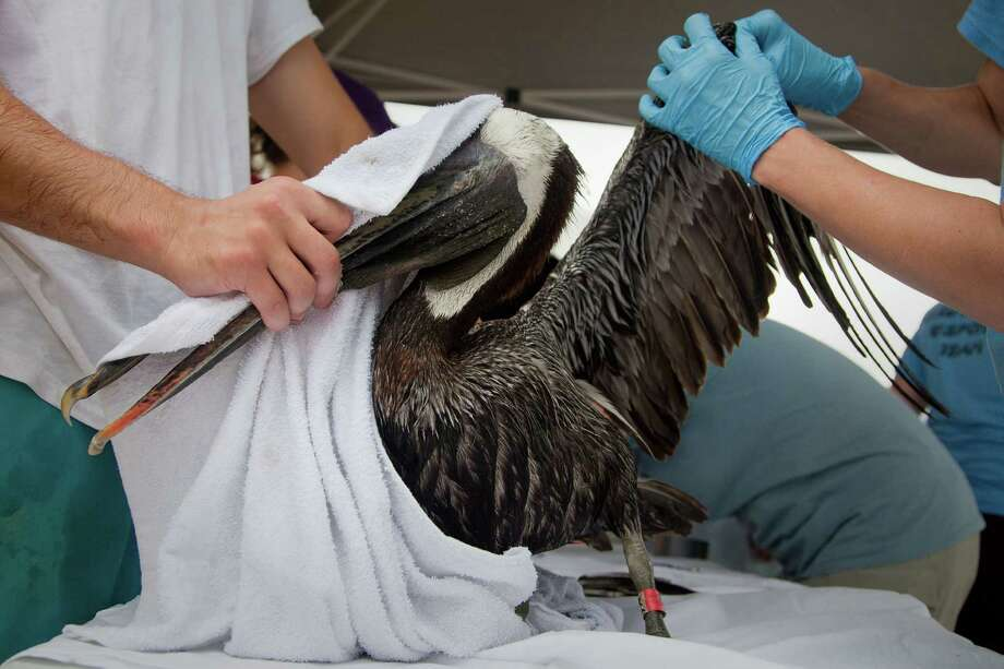Workers in Buras, La., evaluate a pelican in 2010 after cleaning the bird, which was covered in oil. Photo: Smiley N. Pool, HC Staff / Houston Chronicle
