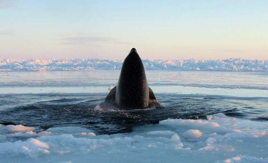 A killer whale surfaces through a small hole in the ice near Inukjuak, in Northern Quebec on Tuesday. Mayor Peter Inukpuk urged the Canadian government Wednesday to send an icebreaker as soon as possible to crack open the ice and help the pod of about a dozen trapped orcas find open water. The Department of Fisheries and Oceans said its ships were too far away to reach the orcas in time. However, official later in the week reported the orcas may have swam free of the ice. (AP Photo/The Canadian Press, Marina Lacasse)  Photo: AP