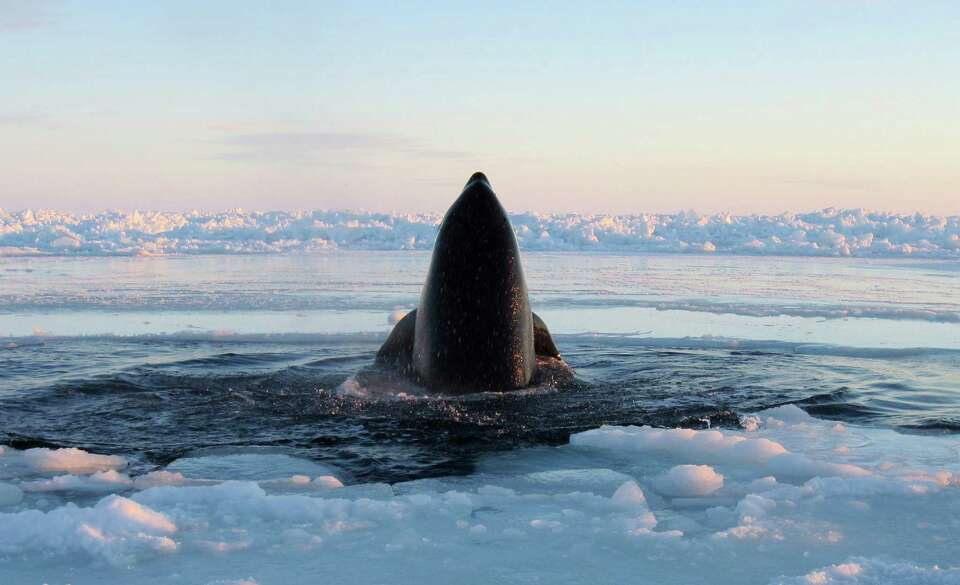 A killer whale surfaces through a small hole in the ice near Inukjuak, in Northern Quebec on Tuesday