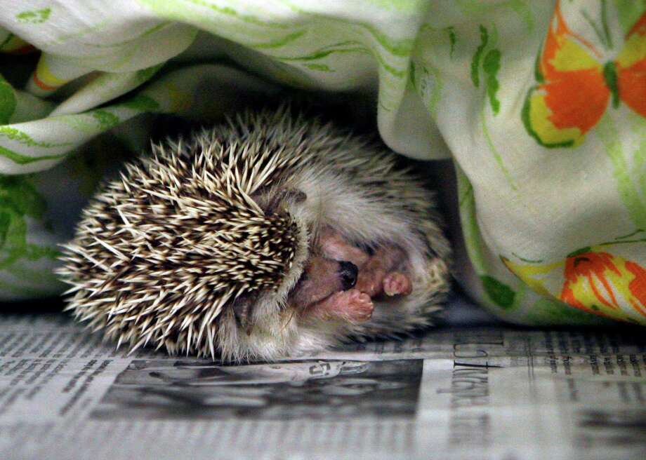 A hedgehog sleeps at the SPCA in Largo, Fla., on Monday. The exotic critter is one of 299 animals seized from an Oldsmar home that are being cared for at the SPCA after the two residents were arrested Sunday on charges of animal cruelty and child abuse. (AP Photo/The Tampa Bay Times, Jim Damaske)  Photo: AP