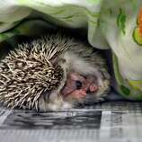 A hedgehog sleeps at the SPCA in Largo, Fla., on Monday. The exotic critter is one of 299 animals seized from an Oldsmar home that are being cared for at the SPCA after the two residents were arrested Sunday on charges of animal cruelty and child abuse. (AP Photo/The Tampa Bay Times, Jim Damaske)