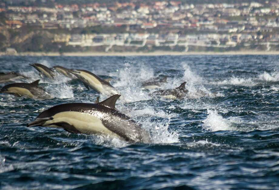 In this Jan. 6 photo provided by Captain Dave's Dolphin and Whale Safari, a pod of Dolphins swims off the coast of Dana Point, Calif. Captain Dave Anderson said hundreds of dolphins were seen churning up the waters off the California coast about 60 miles south of Los Angeles. Photo: AP