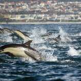 In this Jan. 6 photo provided by Captain Dave's Dolphin and Whale Safari, a pod of Dolphins swims off the coast of Dana Point, Calif. Captain Dave Anderson said hundreds of dolphins were seen churning up the waters off the California coast about 60 miles south of Los Angeles.