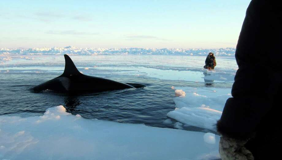 A killer whale surfaces through a small hole in the ice near Inukjuak, 