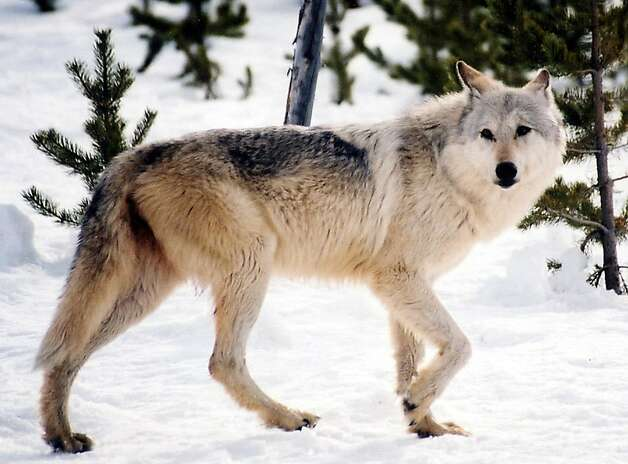 A gray wolf roams Yellowstone National Park. More than 850 have been killed in the Northern Rockies since they were delisted as endangered in May 2011. Photo: MacNeill Lyons, Associated Press