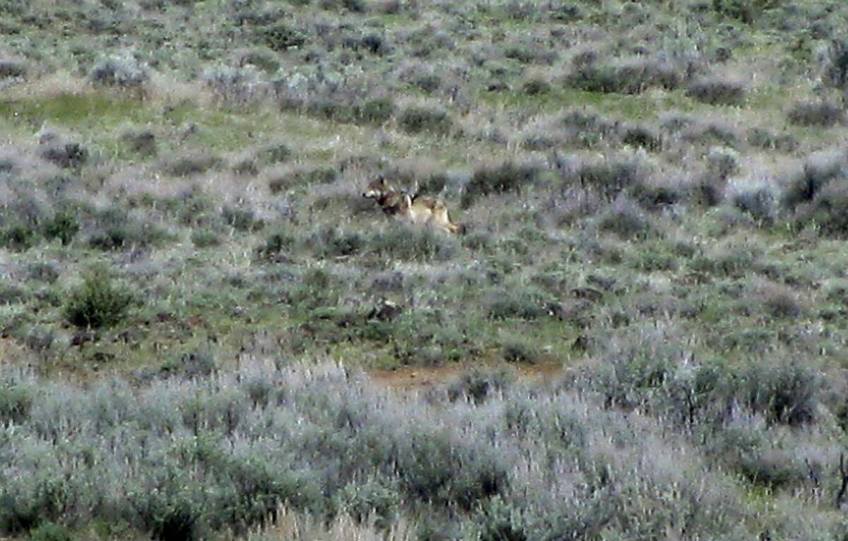 FILE - This May 8, 2012 file photo provided by the California Department of Fish and Game shows OR-7, the Oregon wolf that has trekked across two states looking for a mate, on a sagebrush hillside in Modoc County, Calif. California's lone gray wolf passed his one-year anniversary as a transplant resident of the former Bear Republic with the same technical amenities many people possess: a Twitter account and a website devoted to his travels. His mere chance presence has prompted action by one state and two federal agencies that now have to figure out how to manage the species when others inevitably follow in his 5-inch footprints. (AP Photo/California Department of Fish and Game, File)