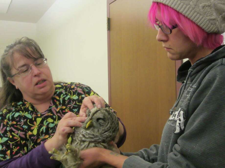 Sarah Coulombe of Niskayuna, right, holds an injured barred owl while Cara Huffman examines it.  The owl was found injured on the side of Route 32 near the Saratoga National Historical Park Saturday night. Huffman, from North Country Wild Care, led a class at the Saratoga Springs Public Library Jan. 13, 2013 on how to examine wild animals. Sarah Coulombe of Niskayuna held the bird while Huffman examined it. (Photo by Staff writer Leigh Hornbeck) Photo: Version 1.01