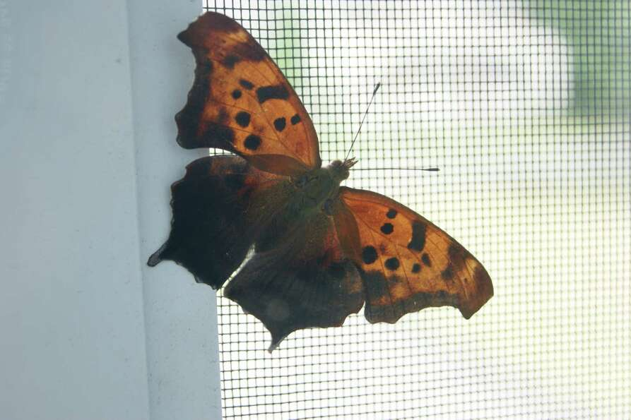 Jinesh Ramachandran An Eye-catching butterfly visited the balcony of Jinesh Ramachandran?s Niskayuna
