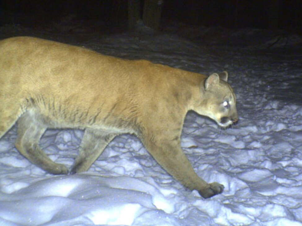 A trail camera in Clark County, Wisconsin captures the mountain lion in January 2010, during its journey from west to Lake George and finally Connecticut, where is was struck and killed by a car.