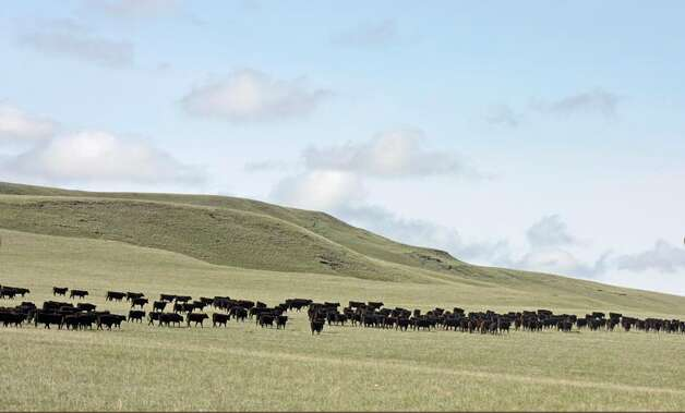 A view of the cattle grazing