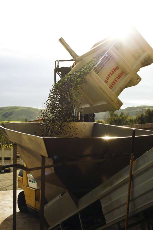 Olives going into the olive press.