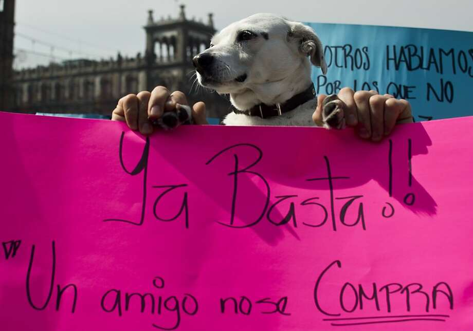 Thumbs up for strays! A dog protests a mass roundup in Mexico City of dozens of stray canines, which authorities contend may have been involved in the mauling deaths of four people. Animal rights activists doubt that few if any of the captured dogs were involved in the attacks. Photo: Ronaldo Schemidt, AFP/Getty Images