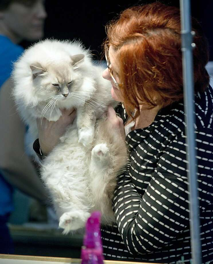 Unlike your cat or ours, The Butterman will let perfect strangers lift, prod and examine him with nary a whimper. He's well-suited to compete at the Destiny Cat Fanciers annual cat show in Fort Walton Beach, Fla. Photo: Devon Ravine, Associated Press