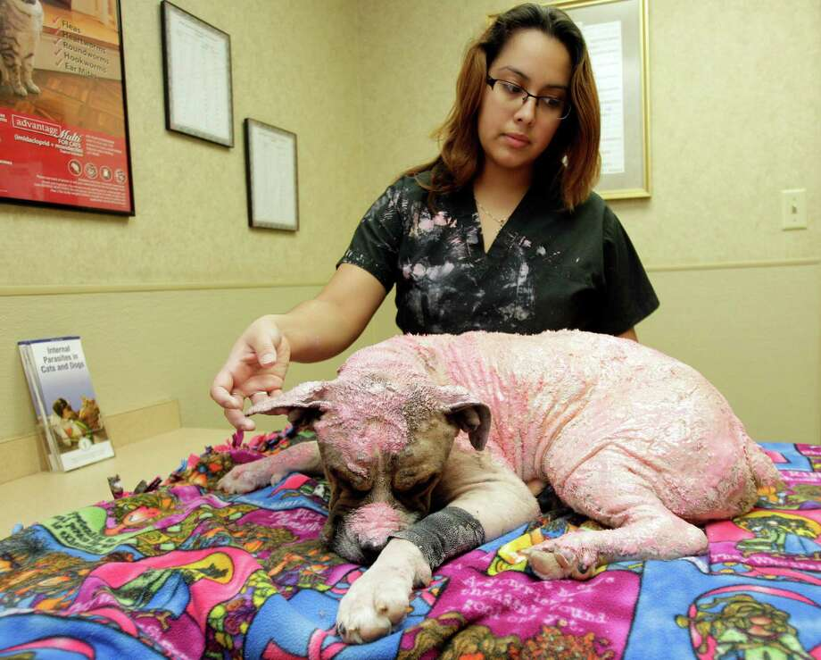 Veterinary technician Victoria Mendoza pets Rocky the Boxer, who is covered in Pink Lady Wound Dressing, as he recovers at Aldine Animal Hospital, 440 Aldine Bender,  Monday, Jan. 14, 2013, in Houston. Rocky the Boxer, was badly burned in a warehouse fire on Jan. 3. A homeless man rescued the dog, and volunteer animal rescuers are soliciting donations for its medical bills that have reached $2,000 and growing. Photo: Melissa Phillip, Houston Chronicle / © 2013 Houston Chronicle