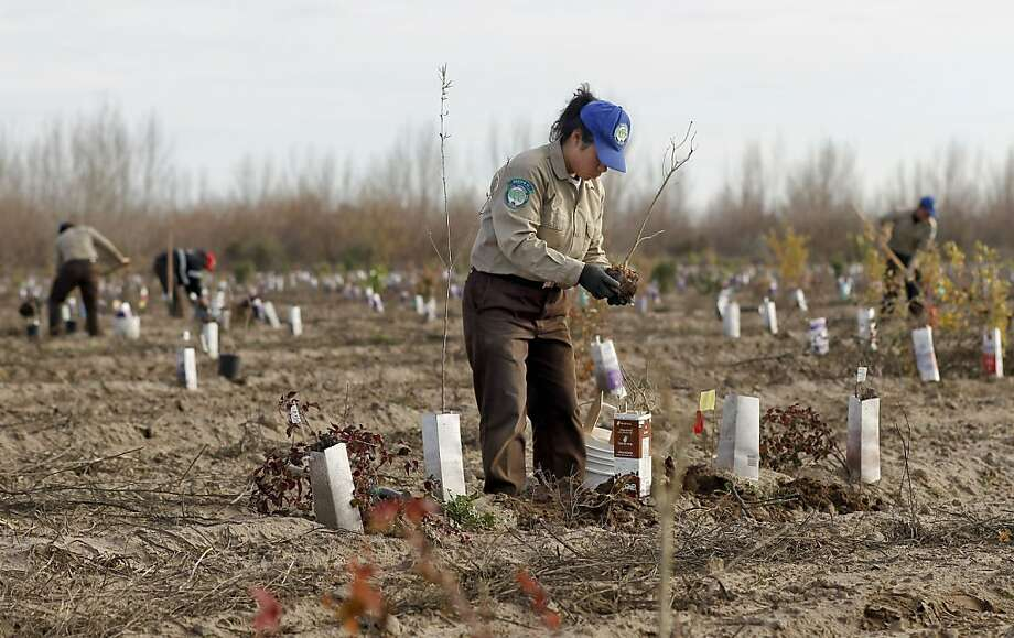 Delia Flores with the California Conservation Corps helps 227 different plant species per acre take root. Photo: Michael Macor, The Chronicle
