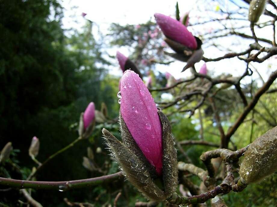 Magnolia campbellii Photo: James Gaither