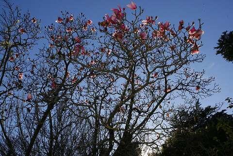 Botanical Garden Celebrates Magnolias Sfgate