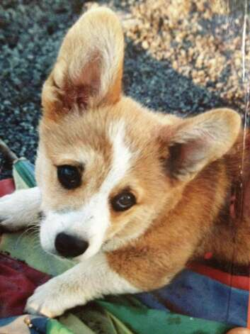 Andy, the corgi as a puppy, has been subject of a search more than a year long after he ran off during New Year's Eve celebrations in Westport. Photo: Contributed Photo / Westport News contributed
