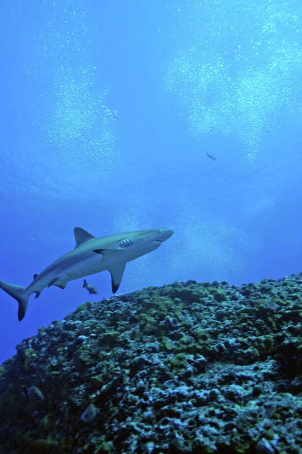 A grey reef shark swims over the reef at the Rangiroa Atoll (French Polynesia) in a scene from âÄúSharks,âÄù an IMAX film opening Jan. 18 on the six-story screen of The Maritime Aquarium at Norwalk. Photo: Contributed Photo / 2004 3D Ente, Contributed Photo / Norwalk Citizen