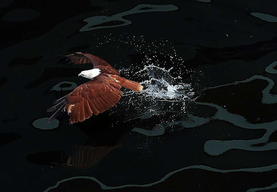 Bet you thought it was a bald eagle:A Brahminy kite, locally know as a lawin, swoops down on a fish inside an enclosure at Manila Bay's Ocean Park during the launching of the park's birds-of-prey attraction. Photo: Ted Aljibe, AFP/Getty Images