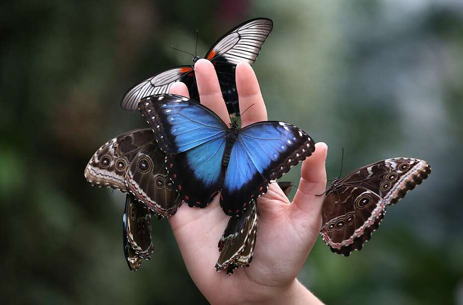 Butter fingers: A staffer at The Glasshouse, a sanctuary for rare and exotic butterflies in Woking, England, must have dipped her hands in nectar. Photo: Peter Macdiarmid, Getty Images