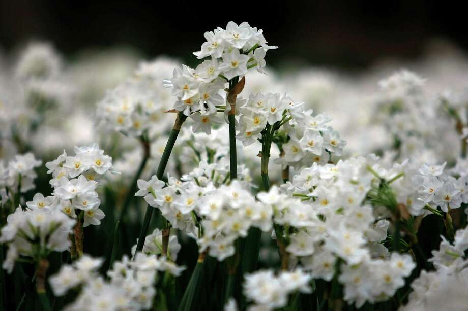 Paperwhites bring color to the landscape in January. Plant in drifts for impact. Photo: Johnny Hanson, Houston Chronicle / © 2012  Houston Chronicle