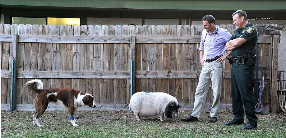 St. Johns County Deputy Dan Sorrells, right, met up with veterinarian Herb Loeman to check on Amber, left, who was a little wary of Harley the pot bellied pig who is the mascot of Atlantic Veterinary Hospital on Tuesday, Jan. 15, 2013, in Jacksonville, Fla. Sorrells is adopting the 4 year-old, 69 pound, collie/lab mix, that was stabbed and left in a field to die. (AP Photo/Florida Times-Union, Bruce Lipsky) Photo: Bruce Lipsky, Associated Press