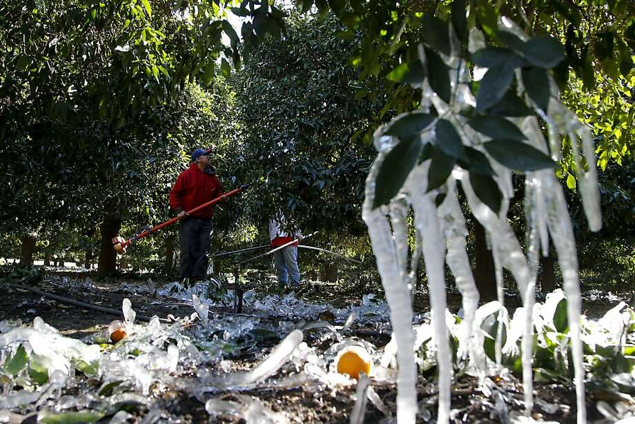 Icicles hang on an orange tree as workers trim branches in an orange grove in Redlands, Calif., Tuesday, Jan. 15, 2013. A cold snap that has California farmers struggling to protect a $1.5 billion citrus crop has slowly started to ease, though frigid temperatures were still the norm Tuesday morning throughout the state and across other parts of the West. (AP Photo/Jae C. Hong) Photo: Jae C. Hong, Associated Press