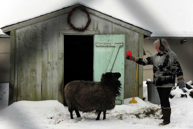 On a snowy morning, volunteer Michele Mackenzie, prepares to feed one of the sheep she tends to at Boothe Memorial Park, in Stratford, Conn. Jan. 16th, 2013. Photo: Ned Gerard / Connecticut Post