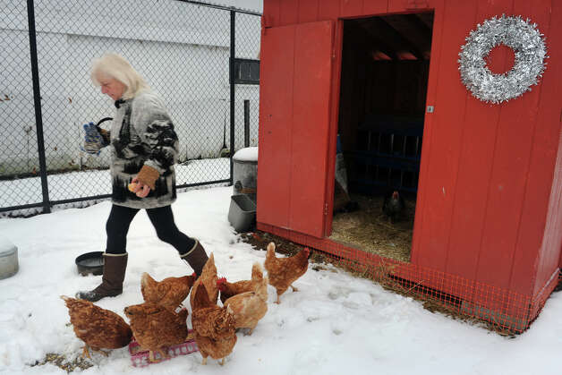 On a snowy morning, volunteer Michele Mackenzie retrieves a couple of eggs from the chicken coop at Boothe Memorial Park, in Stratford, Conn. Jan. 16th, 2013. Photo: Ned Gerard / Connecticut Post