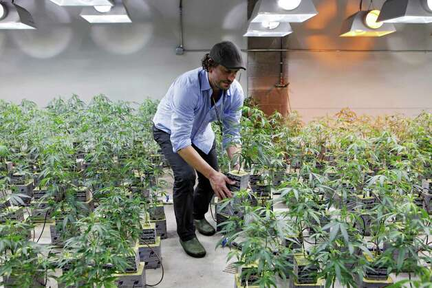 Photo shows Matthew Huron, owner of two medical marijuana dispensaries and an edible marijuana company in Denver, examining a marijuana plant in his grow house. Connecticut's Department of Consumer Protection released a draft on regulations on Jan. 16, 2013 on the use of medical marijuana in the state. Photo: Ed Andrieski, Associated Press / AP