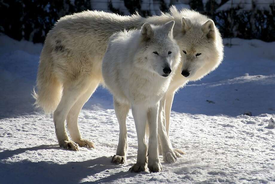 Comfy in the cold: Two arctic wolves enjoy the chilly weather at the small zoo in Servion, Switzerland. Photo: Fabrice Coffrini, AFP/Getty Images