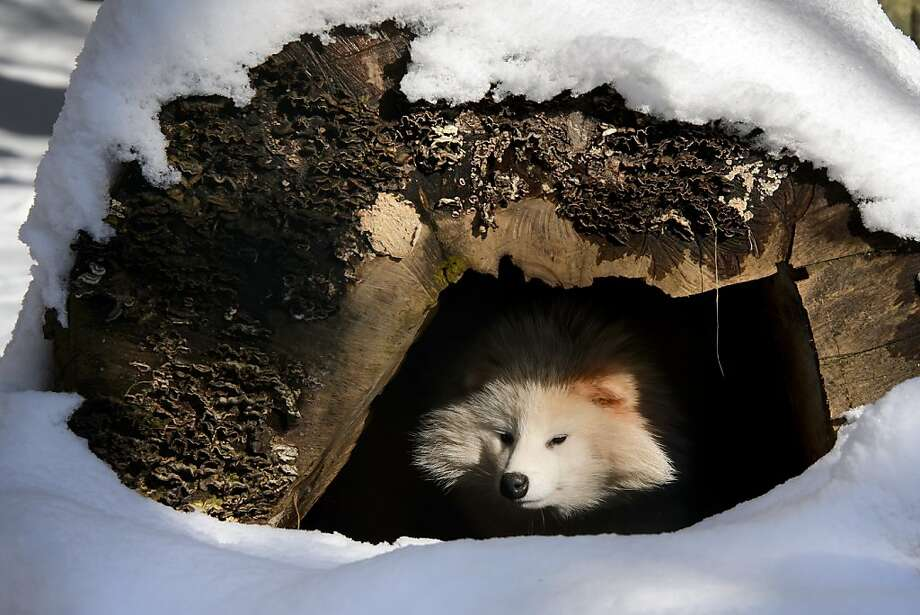 There may be snow on the roof … but there's fur in the foyer of this dog house at the Servion Zoo in Servion, Switzerland. The foxy looking Fido is a raccoon dog, named for the rodent it resembles. Photo: Fabrice Coffrini, AFP/Getty Images