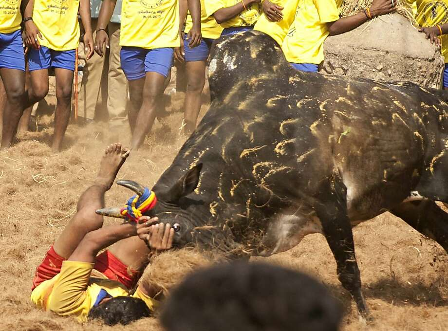 A harassed bulltries to gore his tormenter during the traditional bull-taming festival known as Jallikattu in Palamedu, India. Photo: Strdel, AFP/Getty Images