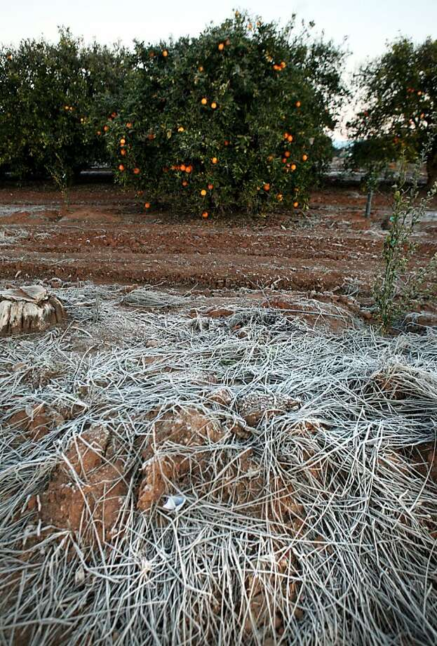Frost covers the ground in an orange grove near Clovis (Fresno County) after temperatures plunged last week. Photo: Craig Kohlruss, Associated Press