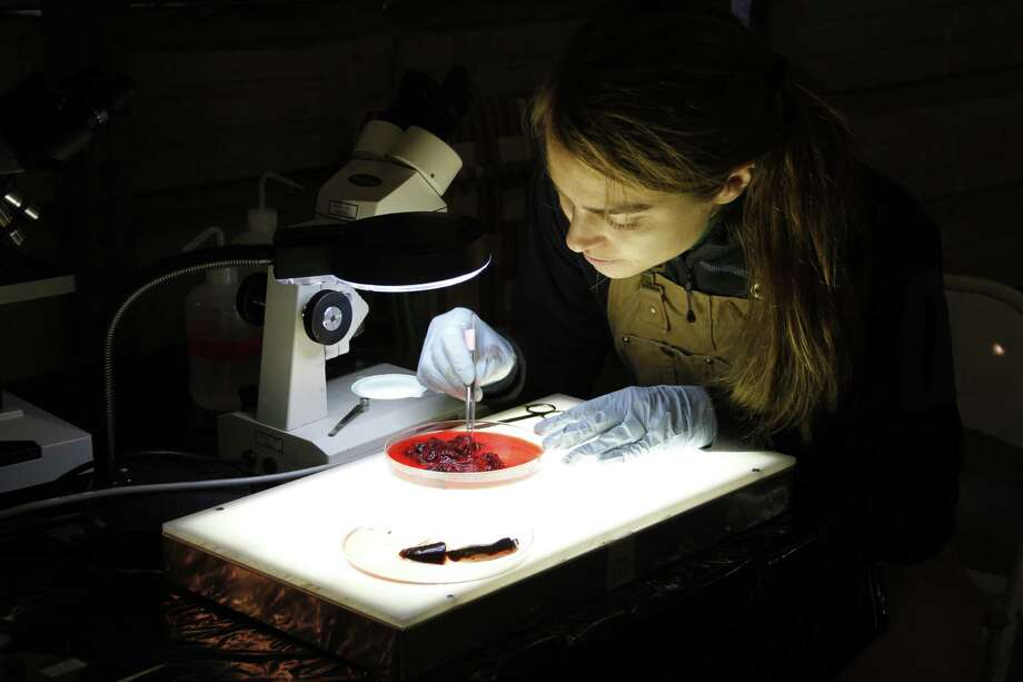 Sarah Hamer, assistant professor at Texas A&M's College of Veterinary Medicine and Biomedical Sciences, prepares tissue samples from hunter-donated sandhill cranes.