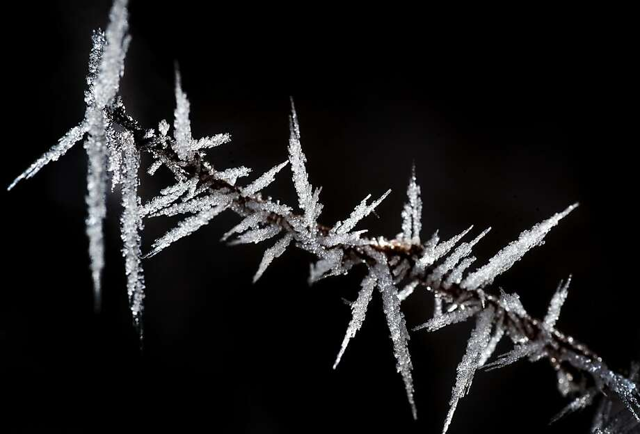 Hoar frost forms on the branches of a shrub, Wednesday, Jan. 16, 2013, in Spokane, Wash. Hoar frost ice crystals form on the ground or exposed objects on cold clear nights when objects become colder than the surrounding air. Photo: Colin Mulvany, Associated Press