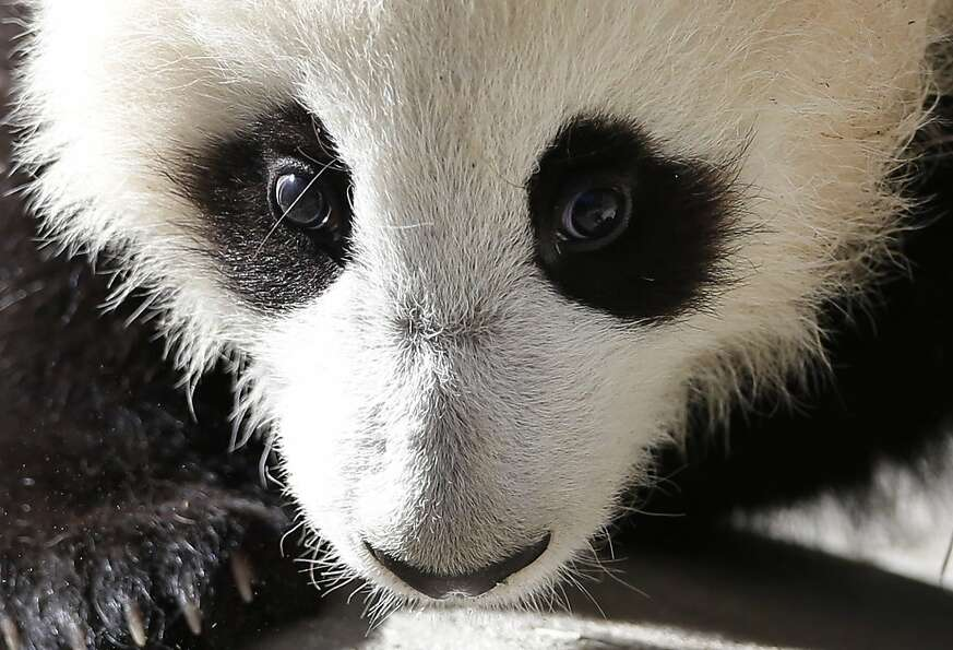 Xiao Liwu, a 5 1/2-month-old male panda, looks on from his enclosure at the San Diego Zoo Wednesday,