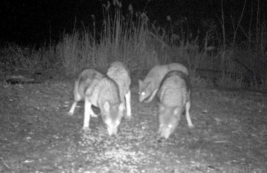 This pack of coyotes was photographed at night sniffing around the Fairfield Animal Shelter on One Road Highway last year. State and local officials plan a public-education program about the animals on Wednesday evening, Jan. 23, at School Department headquarters. Photo: Contributed Photo